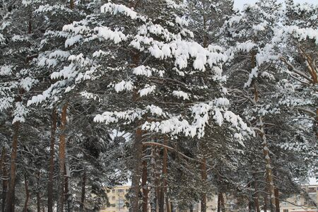 snowcovered: snow-covered winter forest in a midland of Russia