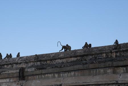 frolic: little monkeys frolic on walls of the Hindu temple