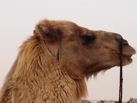 Camel bateau du désert - en vacances, après une longue transition sur le désert