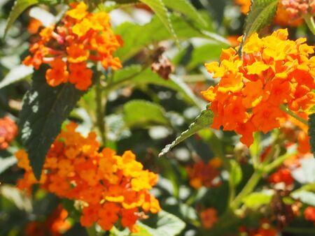 plentiful: garden plant a verbena during plentiful blossoming