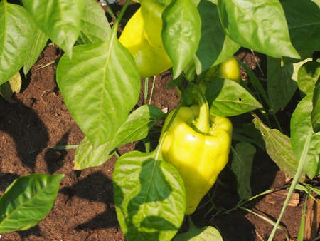 kitchen garden: Cultivation of sweet paprika in a kitchen garden