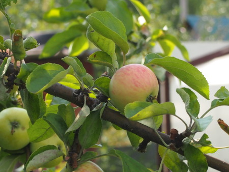 melba: Ripe, bulk apples are ready to gathering a good harvest