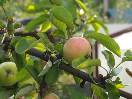 melba: Ripe, bulk apples are ready to gathering a good harvest