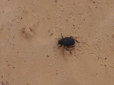 visone: l'insetto letame uno scarabeo si insinua nella visone di sabbia Archivio Fotografico