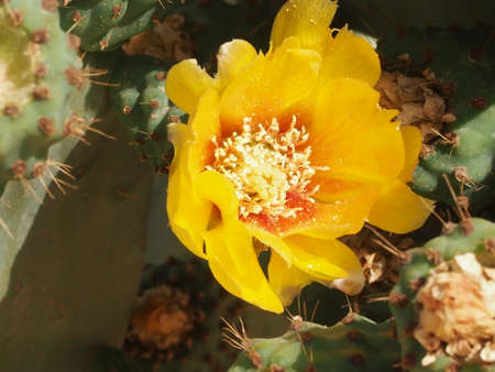 prickly flowers: yellow flowers and unripe fruits of an edible cactus prickly pear