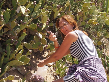 prickly pear: the woman collects fruits of an edible cactus of a prickly pear