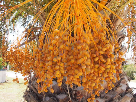 unripe: Date palm tree with unripe fruits Stock Photo