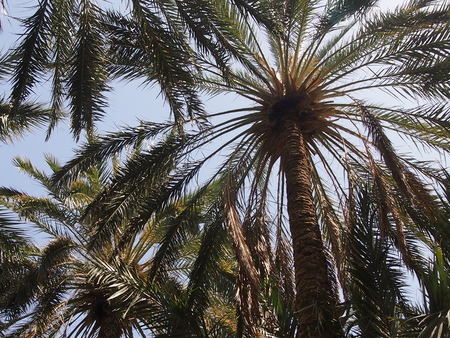 desert oasis: the date palm trees growing in the Sahara Desert oasis