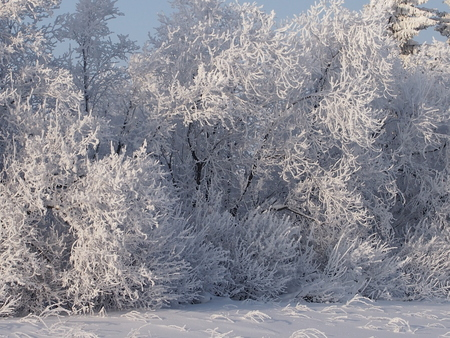 yule tide: the rimed birches in the fantastic frosty wood