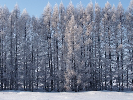 forest belt from pine trees for protection of arable lands and snow retention