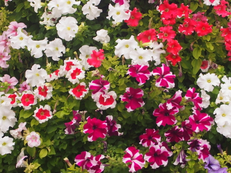 The blossoming petunia with various coloring of flowers