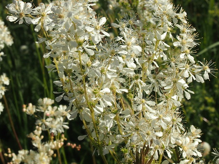 curative: Officinal herbs - a meadowsweet - a grassy plant with whisks of white and cream flowers Stock Photo