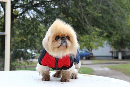 overol: Pequeño perrito rojo en monos en caminata