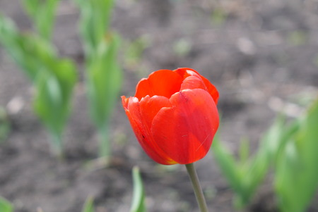 Red tulip on a glade with an indistinct background Фото со стока