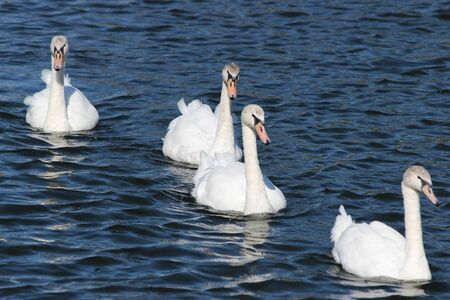 Graceful white swans swim on blue lake