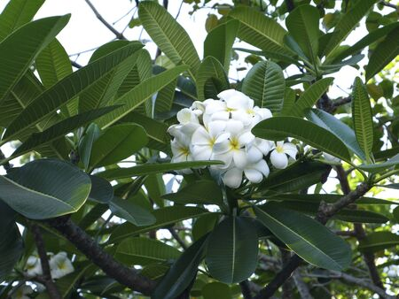 In nature there is a flower of plumeria, capable of raising the mood, waking up hot feelings, helping the seriously ill.