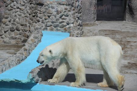 Polar bear - a resident of the cold Arctic - at the zoo