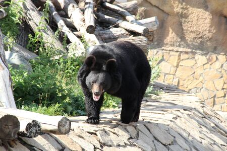 Black bear grizzly, formidable predator bypasses his territory Stock fotó