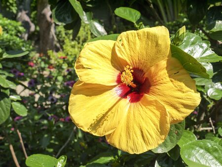 Hibiscus or Chinese rose is a classic flower for home and garden.