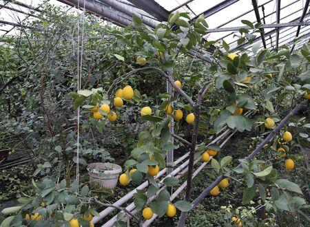 Rich crop of large lemons grown in greenhouse Stock fotó