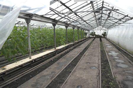 Cucumber weaves in winter in a glass greenhouse