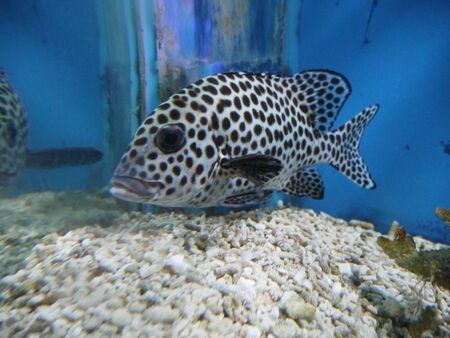 The color is whitish or silver, the fins and lips are black.