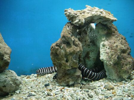 Murena zebra lives in the Red Sea and in the tropical zone of the Indo-Pacific region