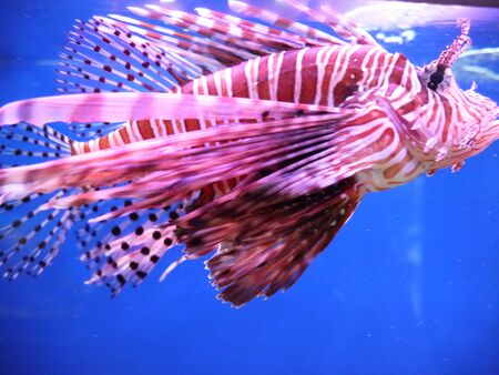 Fish winged, fish-zebra or, as it is also called, - fish-lion