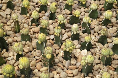 Lots of small flowering cacti among pellet stones. Imagens