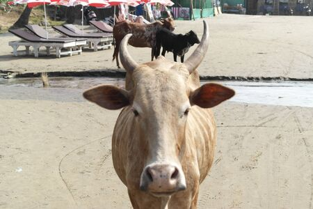 Cows roam free on a beach in India. Imagens