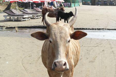 Cows roam free on a beach in India. Standard-Bild