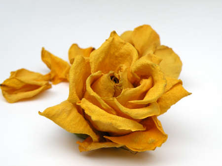 Yellow Rose on White background Banco de Imagens