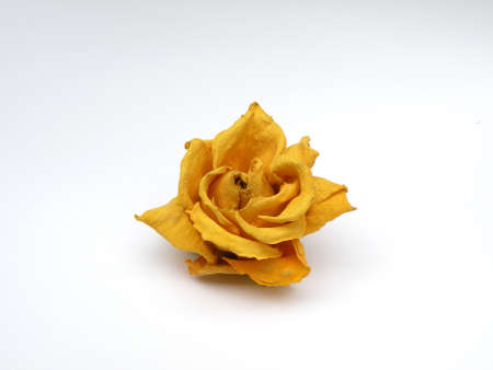 Yellow Rose floating in white space