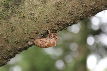 Cicada Skin Hanging from a tree photo