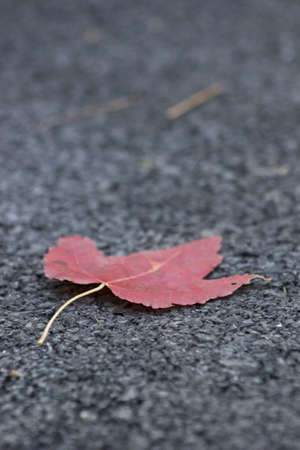 red maple leaf: Red Maple Leaf on black textured background Stock Photo