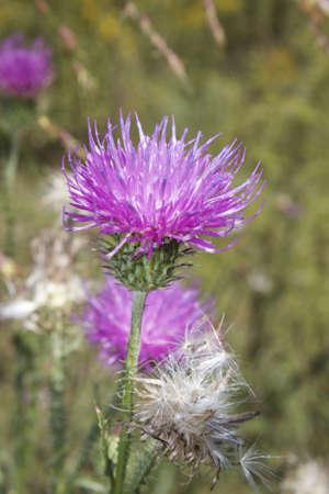 Purple Milk Thistle Flower Imagens