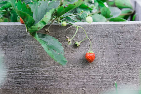 Ripe strawberry fruit. Hanging on a branch. On the background of wooden boards in the garden. Standard-Bild - 110116981