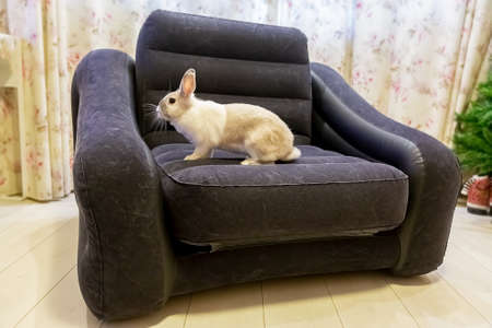 white and gray striped rabbit sitting on the armchair.