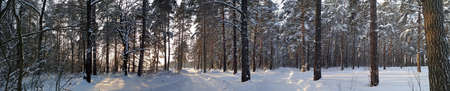 Panorama. Two small country roads in winter forest with sunshine on trees.