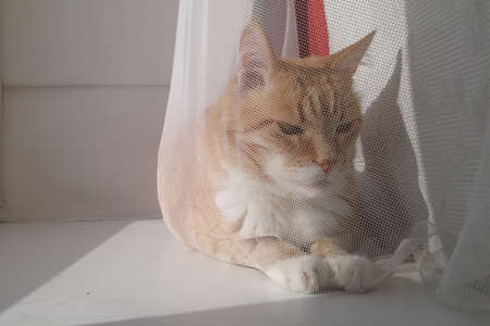 Red orange striped with white cat sitting on the window sill curtain. Experienced old smart cat basking in the sun
