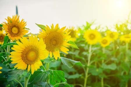 Field of many sunflowers in green leaves. Summer colors Foto de archivo