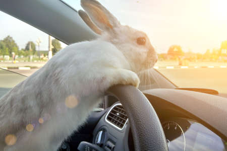 The steering wheel is behind the steering wheel. Hare driver .. White Easter bunny rides to give gifts. Rabbit in the car Stock Photo