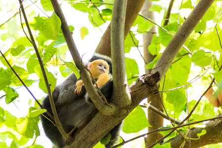 Female of dusky leaf monkey or spectacled Trachypithecus obscurus Peeping from behind in thailand jungle.
