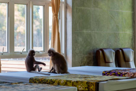 Gray langurs sitting on the room. Monkeys relaxing on the mattress for spa and massage.