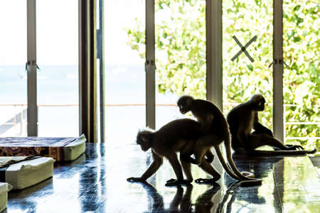 Langurs jump over each other. Three monkeys in the room for the spa. Two monkeys mating. One sits.