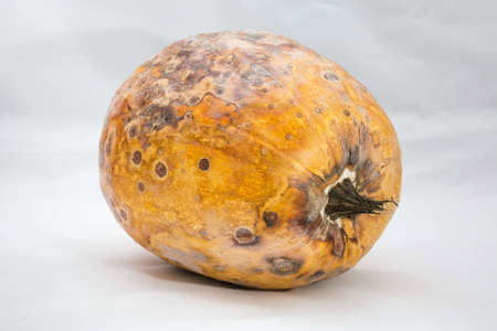 A spoiled pumpkin lies on its side. It dried up, all covered with stains and mold. Dangerous food problems