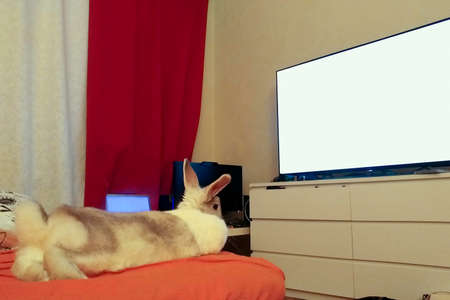 Home decorative white rabbit with gray lying on the couch and watching TV