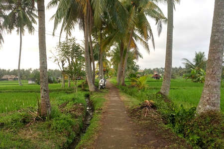Footpath between palm trees leading through rice fields into the jungle. Imagens