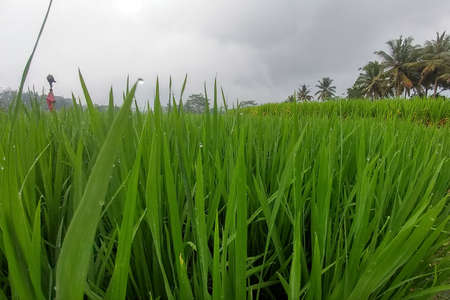 Huge green rice fields and terraces near the jungle of Bali in the Ubud region. Walking paths, rainy season. Rice leaves close up, raindrops
