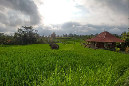 Rich green rice stepped fields. Traditional Balinese rice terraces. Wooden house at the right and jungles on background